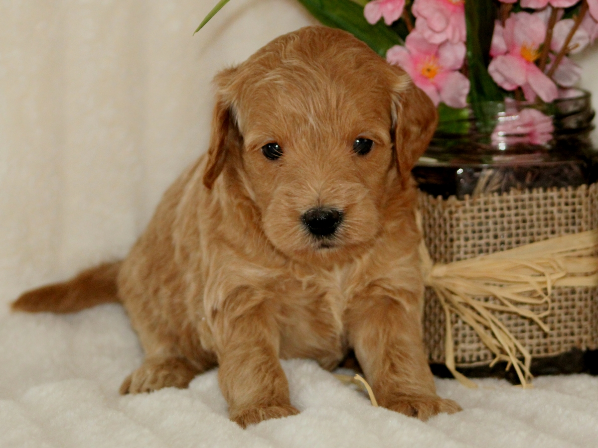 Miniature Goldendoodle Puppy For Sale Chloe