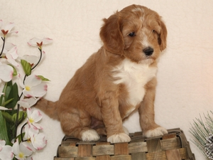 Grace - Goldendoodle Puppy For Sale