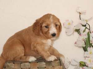 Lulu - Goldendoodle Puppy For Sale