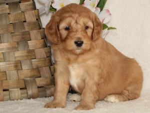 Missy - Goldendoodle Puppy For Sale