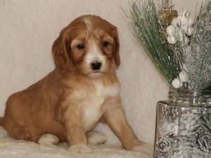 Princess - Goldendoodle Puppy For Sale