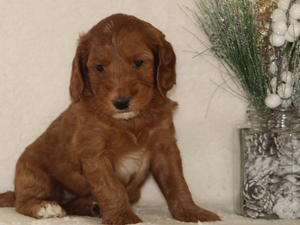 Jasper - Goldendoodle Puppy For Sale