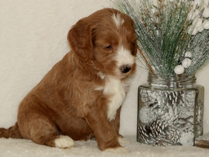 Flash - Goldendoodle Puppy For Sale