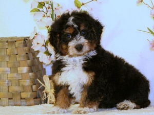 Oliver - Tiny Bernedoodle Puppy For Sale