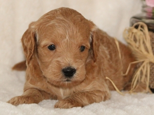 Chloe - F1 Mini Goldendoodle Puppy For Sale