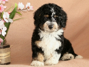 Max - Tiny Bernedoodle Puppy For Sale