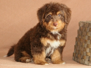 Fido - Tiny Bernedoodle Puppy For Sale
