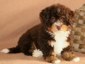 Connar - Tiny Bernedoodle Puppy For Sale