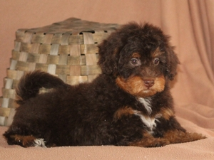 Rosie - Tiny Bernedoodle Puppy For Sale