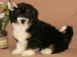 Rosco - Tiny Bernedoodle Puppy For Sale