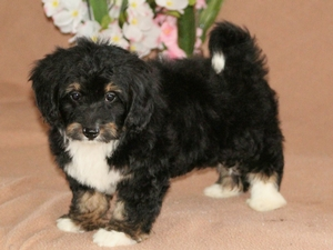 Tinker - Tiny Bernedoodle Puppy For Sale
