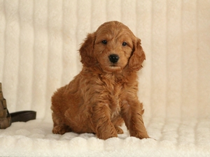 Coco - F1 Mini Goldendoodle Puppy For Sale