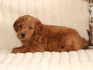 Charlie - F1 Mini Goldendoodle Puppy For Sale
