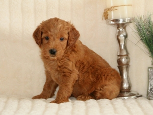 Teddy - F1 Miniature Goldendoodle Puppy For Sale