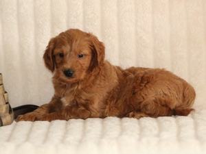 Buddy - F1 Mini Goldendoodle Puppy For Sale