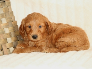 Piper - F1 Mini Goldendood Puppy For Sale