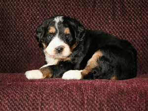 Mandy - F1 Mini Bernedoodle Puppy For Sale