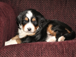 Navi - F1 Mini Bernedoodle Puppy For Sale