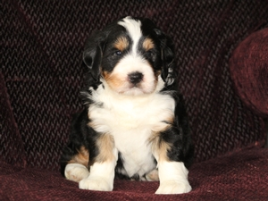 Prince - F1 Mini Bernedoodle Puppy For Sale