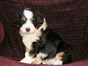 Amber - F1 Mini Bernedoodle Puppy For Sale