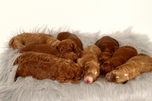 Zoey & Tinker - Miniature Goldendoodle Litter