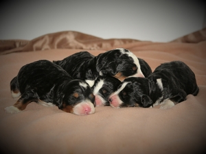 Princess & Bo - Miniature Bernedoodle Litter