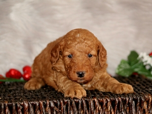 Bear - F1B Mini Goldendoodle Puppy For Sale