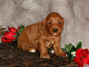 Chloe - F1B Mini Goldendoodle Puppy For Sale