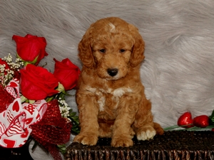 Coco - F1B Mini Goldendoodle Puppy For Sale