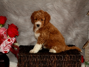 Princess - F1B Mini Goldendoodle Puppy For Sale
