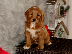 Grace -  F1B Mini Goldendoodle Puppy For Sale