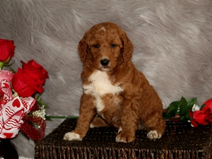 Jasper - F1B Mini Goldendoodle Puppy For Sale