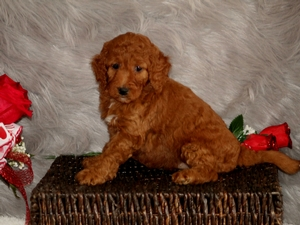 Zoey - F1B Mini Goldendoodle Puppy For Sale