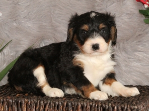 Lucky - F1 Mini Bernedoodle Puppy For Sale