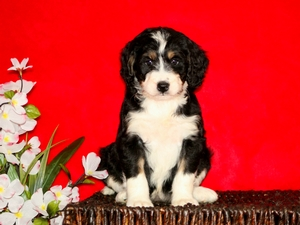 Trixie - F1 Miniature Bernedoodle Puppy For Sale