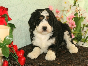 Maisy - F1B Miniature Bernedoodle Puppy For Sale