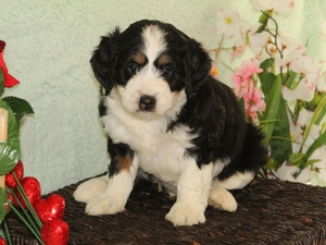 Lucy - F1B Miniature Bernedoodle Puppy For Sale