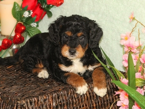 Lady - F1B Miniature Bernedoodle Puppy For Sale
