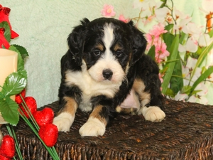Sadie - F1B Miniature Bernedoodle Puppy For Sale