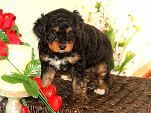 Rusty - F1B Miniature Bernedoodle Puppy For Sale