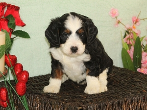 Tyson - F1B Miniature Bernedoodle Puppy For Sale
