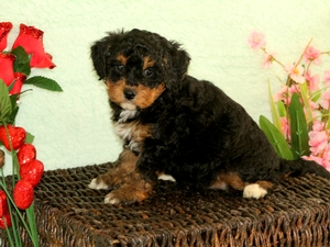 Oscar - F1B Miniature Bernedoodle Puppy For Sale
