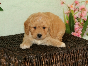 Toby - F1B Miniature Bernedoodle Puppy For Sale