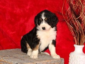Rielly- F1Mini Bernedoodle Puppy For Sale