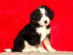 Roxy - F1Mini Bernedoodle Puppy For Sale
