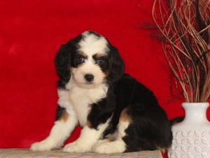 Delight - F1Mini Bernedoodle Puppy For Sale