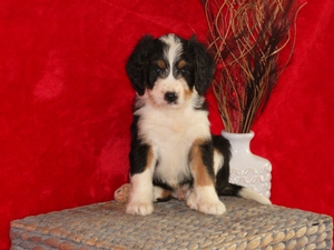 Lucus - F1Mini Bernedoodle Puppy For Sale