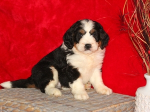 Shane - F1Mini Bernedoodle Puppy For Sale