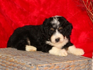 Benji - F1Mini Bernedoodle Puppy For Sale