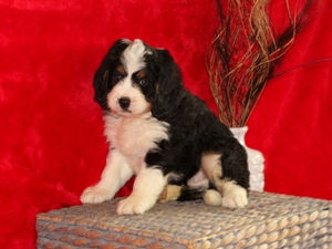 Brady - F1Mini Bernedoodle Puppy For Sale